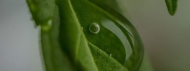 Cannabis Leaves with Water Drops
